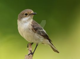 Everything's gone green -  Pied Flycatcher by Jamie-MacArthur