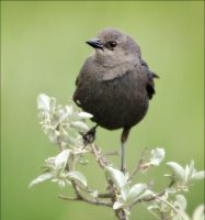 A Female Brewer's Blackbird by Behrfeet