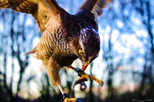 Sparrow Hawk Final Edit by Dannocampbell