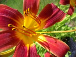 Day Lily by ohhdarkstoned111