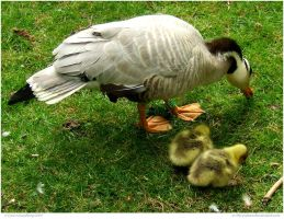 Grazing Geese Family by In-the-picture