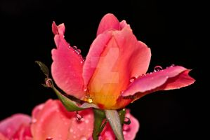 raindrop rose by chrisstina