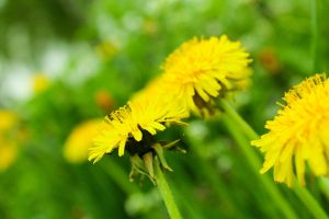 Spring Taraxacum officinale by chiLadjero