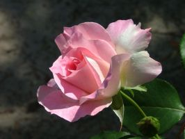 Pink Rose After Rain1 by astrals-stock