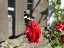 butterfly and rose by chrisravensar