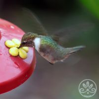 Volcano Hummingbird - Selasphorus flammula by blackcookieDD