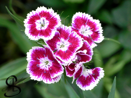 Dianthus caryophyllus by Scalenbee