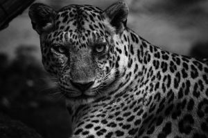 Leopard by stinebamse