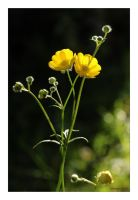 Meadow Buttercup by George---Kirk
