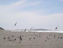 Beach: Flock of Seagulls3 by sc4mp1