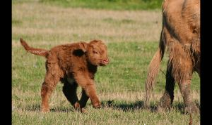Highland Calf I by moem-photography