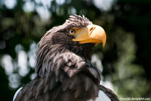 Sea Eagle III by amrodel