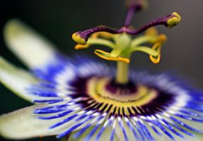 Passionflower by Coraloralyn
