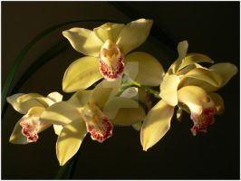 Cymbidiums by soulless666