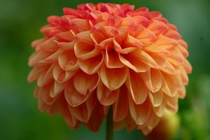 Orange dahlia by irrlicht71