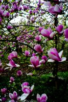 magnolias 3 by system666