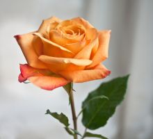 Apricot Rose by muffet1
