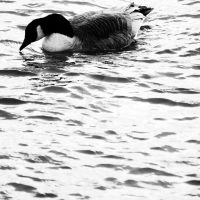 Goose by lonesomeaesthetic