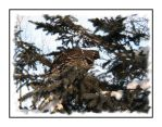 Spruce Grouse in the Pines by dove-51