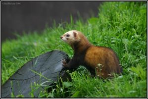 Regal Polecat by CoupeKid