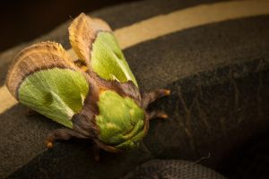 Green Moth (just jumped on my sandal) :) by Kisarisary