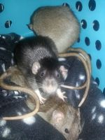 Rat trio (actually a quad, one is missing!) by WaterSinger
