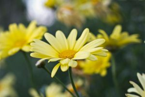 Yellow Flowers by Linna89