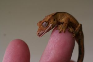 Teeny Tiny Crestie 2 by Dellessanna
