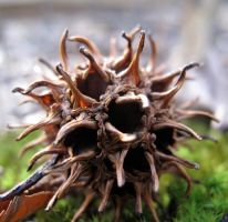Sweet Gum seed pod by recentrunes