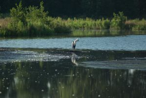 Grey heron's morning fix 2 by steppelandstock