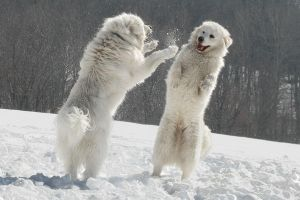 Polar bear dogs by Lollappaloosa