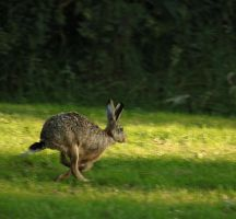 hare running by marob0501