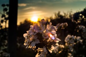 apple flowers by Exrey