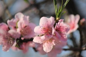 Peach Blossoms Stock 2 by African-Amber