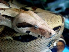 Blue-eyed boa by Biljana1313