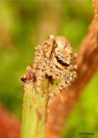 jumping spider by Prototyps