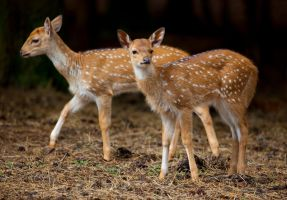 Fawns by deseonocturno