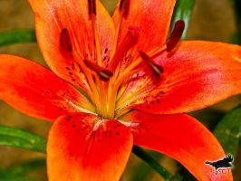 Tiger Lily by SCT-GRAPHICS