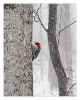 Red-bellied Woodpecker by littleredelf