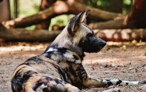 African Hunting Dog by TheInfernalDemon