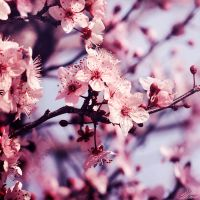 Pink Blossom by NNarcissus