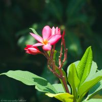 Blooming Plumeria by KvornanTheLafesta