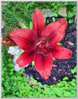 Red Asiatic Day Lily by slowdog294