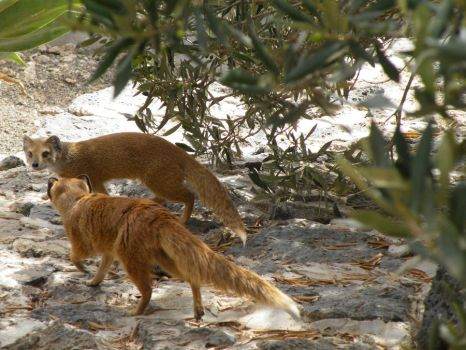 Two yellow mongooses by olivia-the-fox