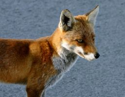 A curious fox by UdoChristmann
