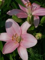 Pink Asiatic Lily 1 by racheltorres921