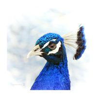 Peacock blue by XanaduPhotography