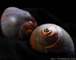 Colorful Shell 2 by PhotographybyVictor