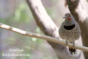 Common Flicker by that-fox