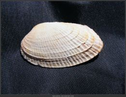 Unrestricted Object Stock - Sea Shell 09 by shelldevil